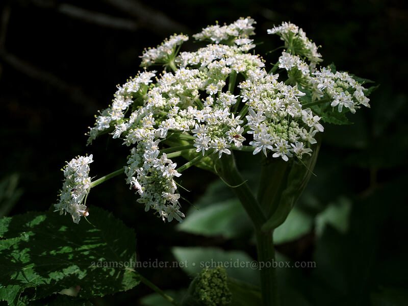 cow-parsnip (Heracleum maximum) [Cook Hill, Skamania County, Washington]