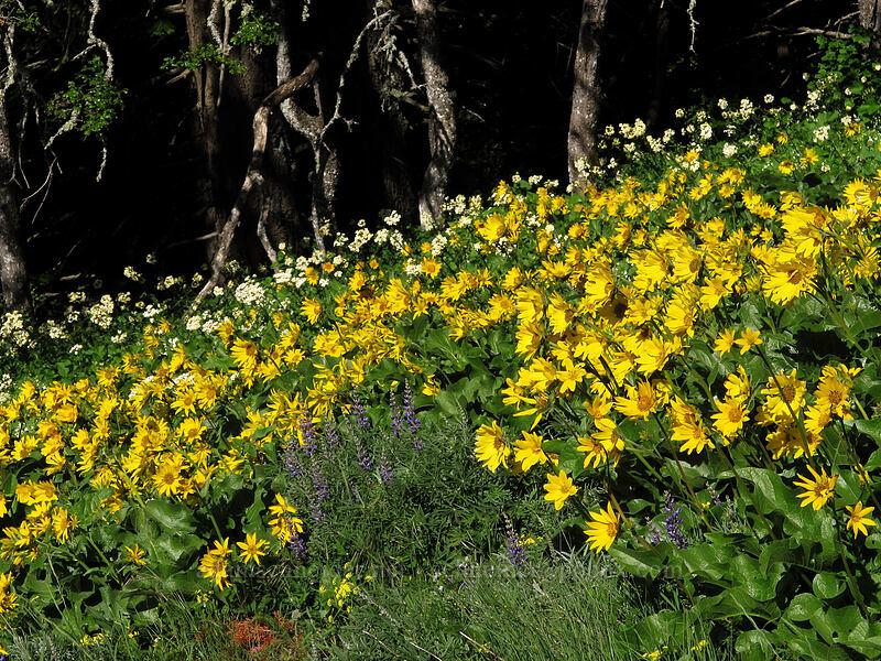 balsamroot & white western groundsel (Balsamorhiza sp., Senecio integerrimus var. ochroleucus) [Cook Hill, Skamania County, Washington]