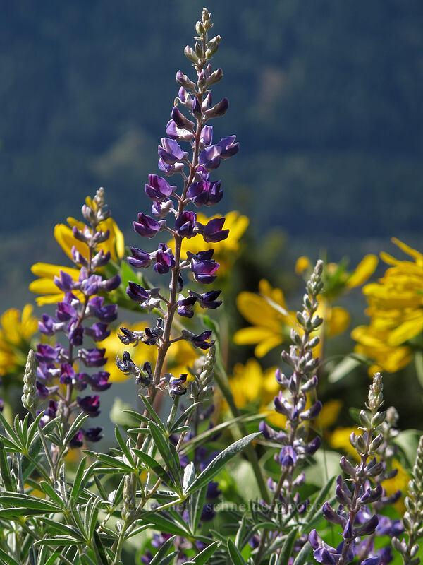 lupine & balsamroot (Lupinus sp., Balsamorhiza sp.) [Cook Hill, Skamania County, Washington]