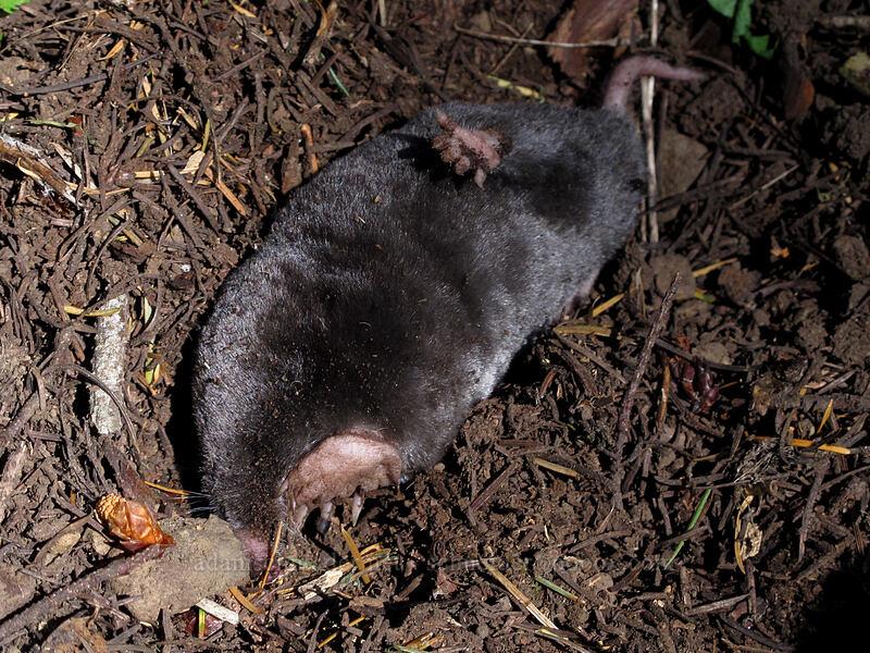 Pacific mole (Scapanus orarius) [Cook Hill, Skamania County, Washington]