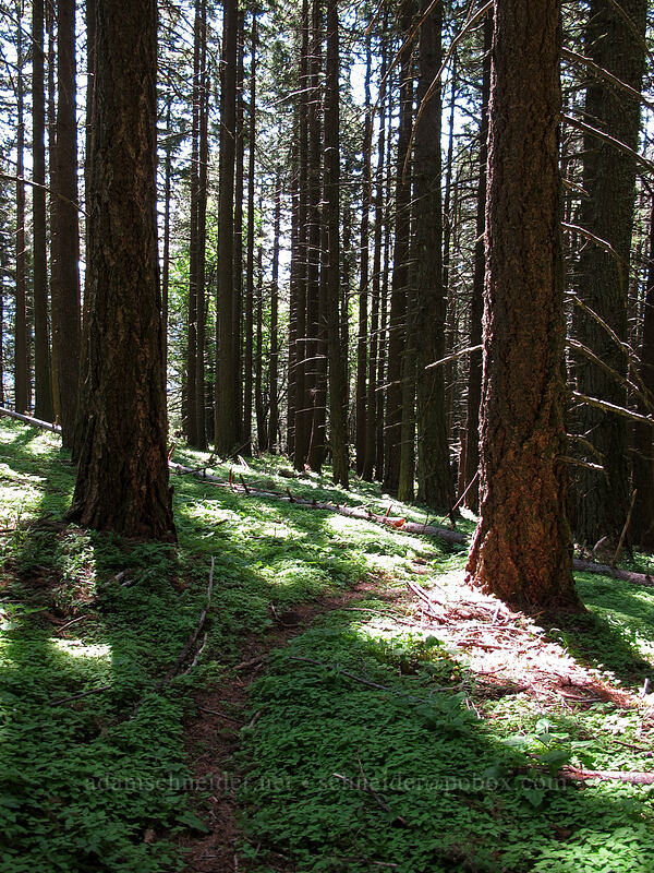 the trail [Cook Hill, Skamania County, Washington]