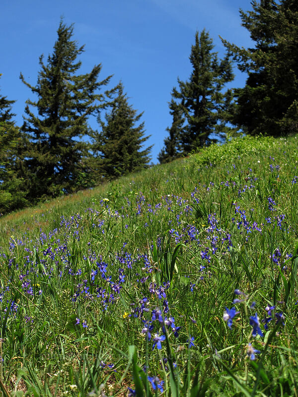 larkspur (Delphinium nuttallianum) [Cook Hill, Skamania County, Washington]