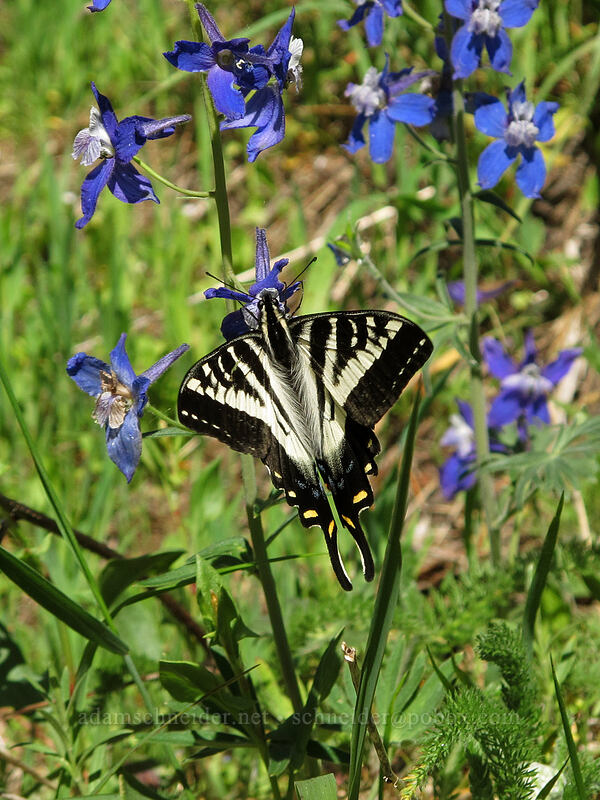 western tiger swallowtail butterfly on larkspur (Papilio rutulus, Delphinium nuttallianum) [Cook Hill, Skamania County, Washington]