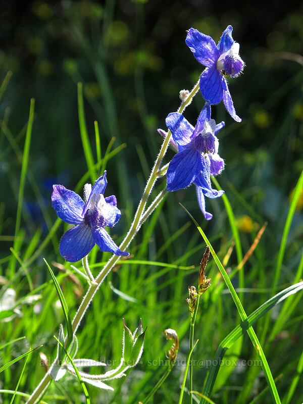 larkspur (Delphinium nuttallianum) [Cook Hill, Skamania County, Washington]