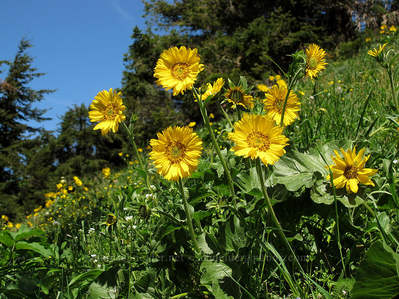 balsamroot (Balsamorhiza sp.) [Cook Hill, Skamania County, Washington]