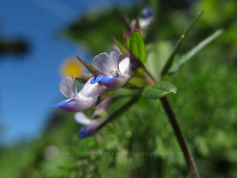 small-flowered blue-eyed-mary (Collinsia parviflora) [Cook Hill, Skamania County, Washington]