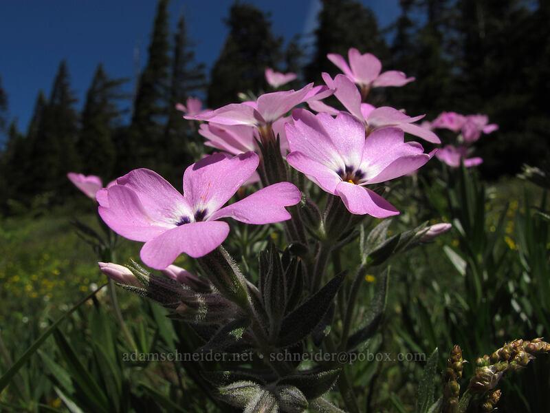 showy phlox (Phlox speciosa) [Cook Hill, Skamania County, Washington]