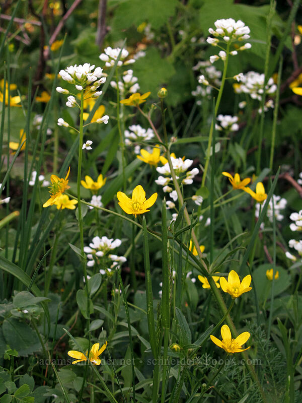 rock penny-cress & buttercups (Thlaspi montanum, Ranunculus occidentalis) [Cook Hill, Skamania County, Washington]