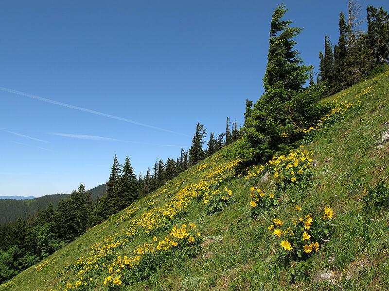 balsamroot (Balsamorhiza sp.) [Cook Hill, Skamania County, Washington]