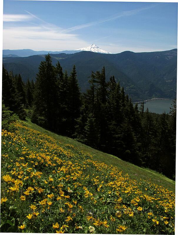 Mt. Hood & balsamroot (Balsamorhiza sp.) [Cook Hill, Skamania County, Washington]