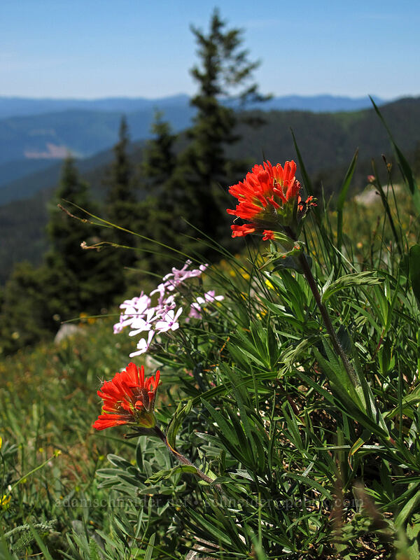 paintbrush & showy phlox (Castilleja hispida, Phlox speciosa) [Cook Hill, Skamania County, Washington]
