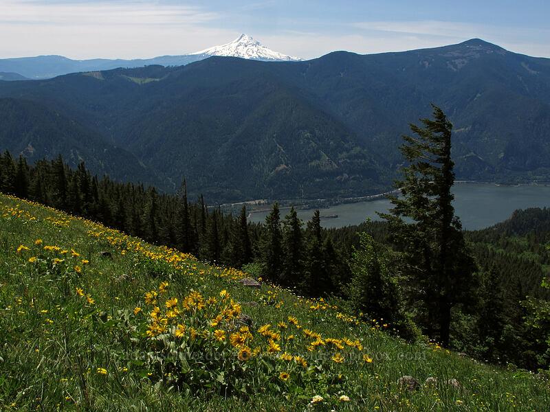 Mt. Hood, Mt. Defiance, & balsamroot (Balsamorhiza sp.) [Cook Hill, Skamania County, Washington]