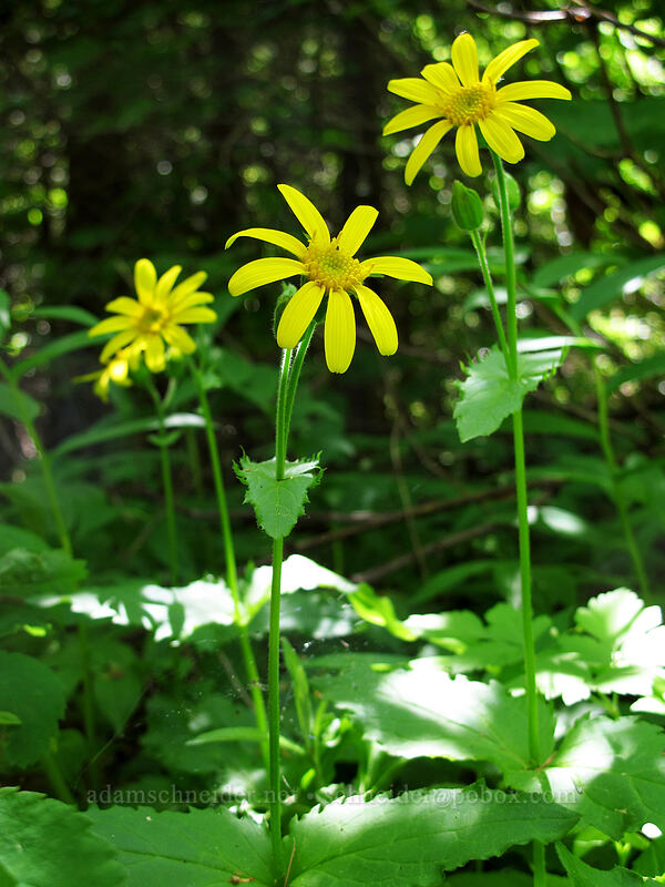 arnica (Arnica latifolia) [Cook Hill, Skamania County, Washington]