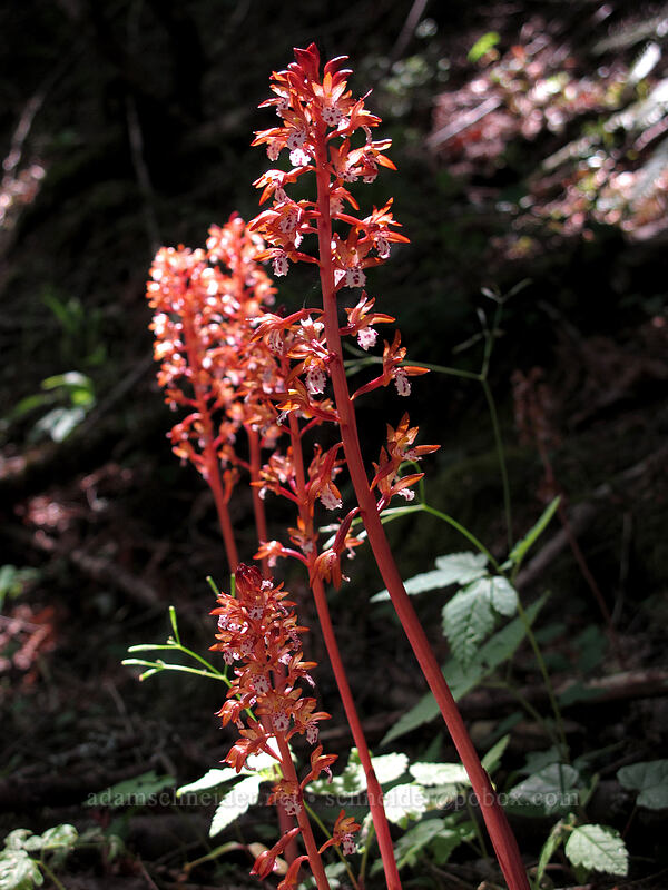 spotted coralroot (Corallorhiza maculata) [Cook Hill, Skamania County, Washington]