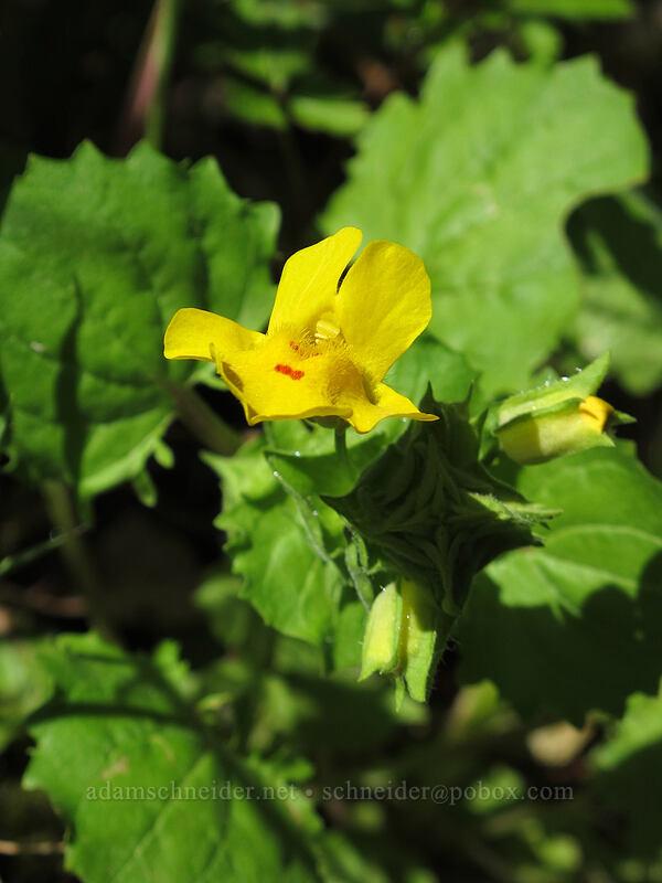 common monkeyflower (Erythranthe guttata (Mimulus guttatus)) [Cook Hill, Skamania County, Washington]