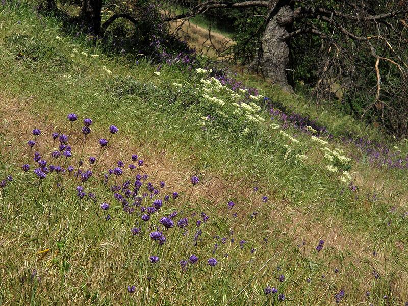 ookow, buckwheat, & vetch (Dichelostemma congestum, Eriogonum compositum, Vicia villosa) [Cook Hill, Skamania County, Washington]