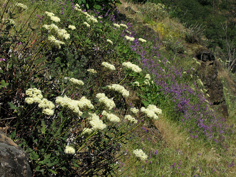 heart-leaf buckwheat & winter vetch (Eriogonum compositum, Vicia villosa) [Cook Hill, Skamania County, Washington]