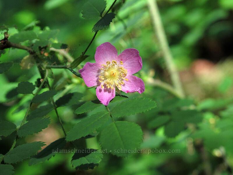 bald-hip rose (Rosa gymnocarpa) [Augspurger Trail, Skamania County, Washington]