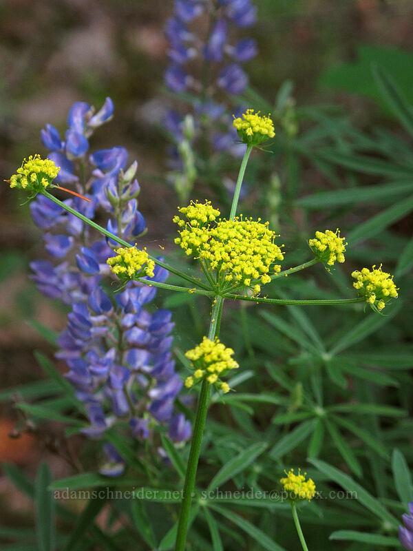 nine-leaf desert parsley (Lomatium triternatum) [Augspurger Trail, Skamania County, Washington]