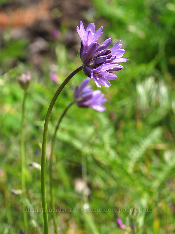 fork-tooth ookow (Dichelostemma congestum) [Augspurger Trail, Skamania County, Washington]