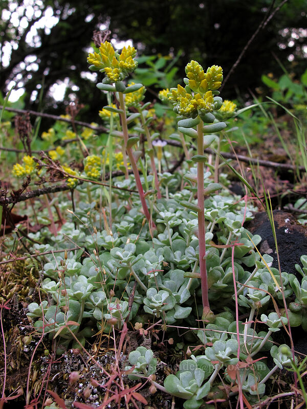 broad-leaf stonecrop (Sedum spathulifolium) [Augspurger Trail, Skamania County, Washington]