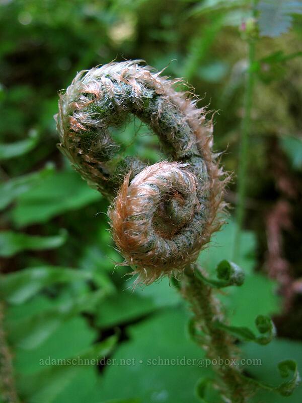 sword fern, unfurling (Polystichum munitum) [Augspurger Trail, Skamania County, Washington]