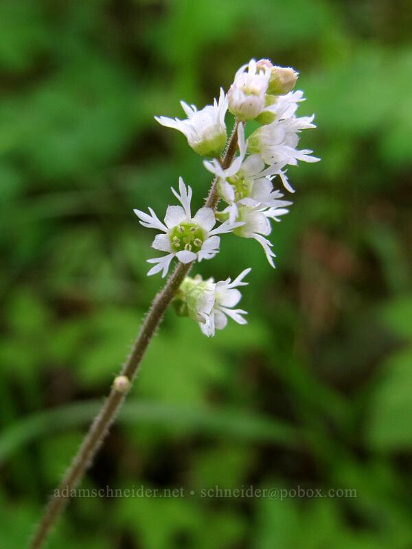 three-tooth mitrewort (Mitella trifida) [Augspurger Trail, Skamania County, Washington]