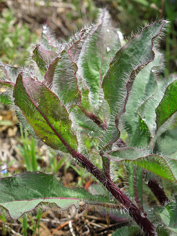 hairy hawkweed leaves (Hieracium scouleri) [Dog Mountain Trail, Skamania County, Washington]