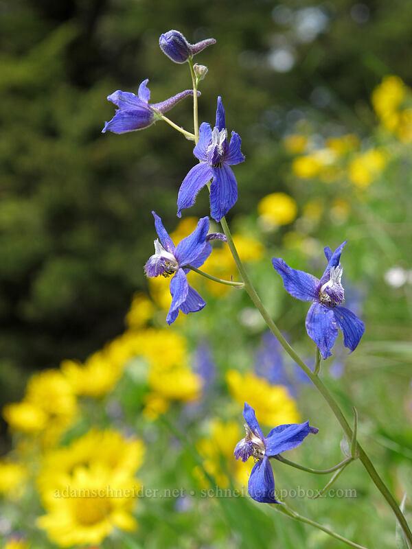 larkspur (Delphinium nuttallianum) [Dog Mountain Trail, Skamania County, Washington]