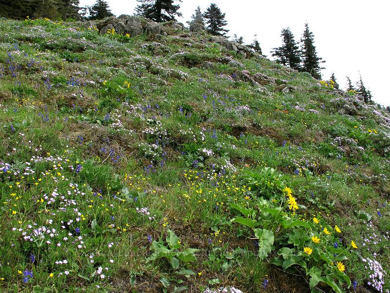 wildflowers (Phlox diffusa, Delphinium nuttallianum, Ranunculus occidentalis) [Dog Mountain Trail, Skamania County, Washington]