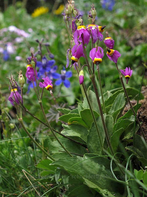 poet's shooting stars (Dodecatheon poeticum) [Dog Mountain Trail, Skamania County, Washington]