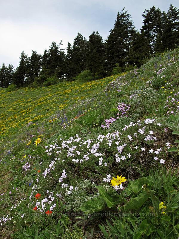 phlox & balsamroot (Phlox diffusa, Balsamorhiza sp.) [Dog Mountain Trail, Skamania County, Washington]
