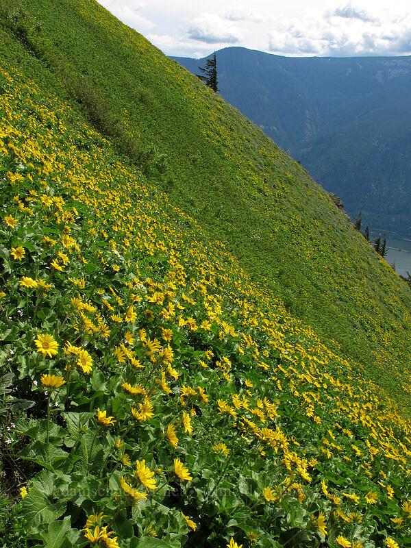 balsamroot on a very steep hillside (Balsamorhiza sp.) [Dog Mountain Trail, Skamania County, Washington]