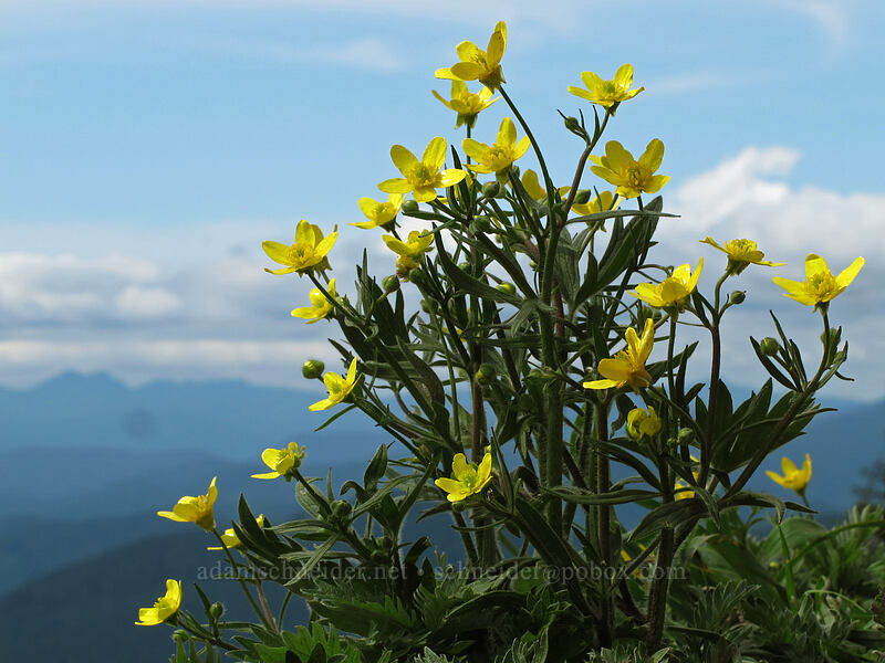 buttercups (Ranunculus occidentalis) [Dog Mountain summit, Skamania County, Washington]
