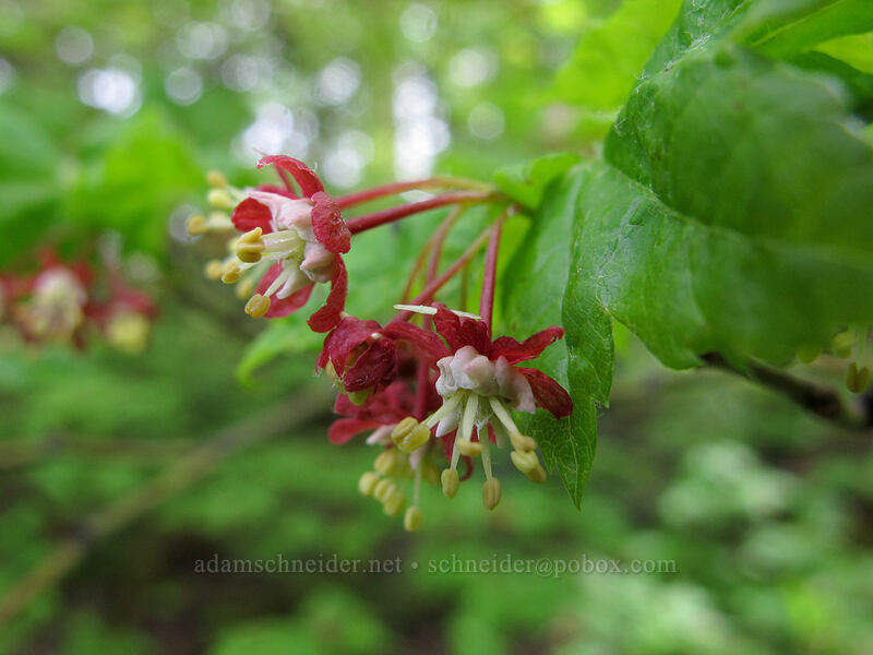vine maple flowers (Acer circinatum) [Dog Mountain summit, Skamania County, Washington]