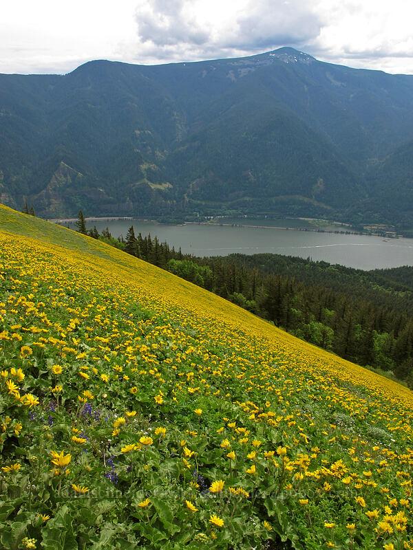 balsamroot & Mt. Defiance (Balsamorhiza sp.) [Dog Mountain Trail, Skamania County, Washington]