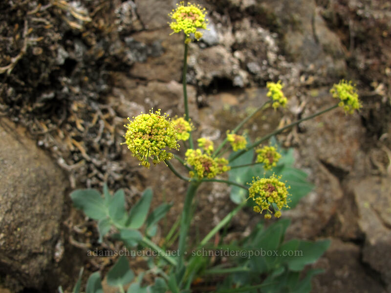 bare-stem desert parsley (Lomatium nudicaule) [Dog Mountain Trail, Skamania County, Washington]