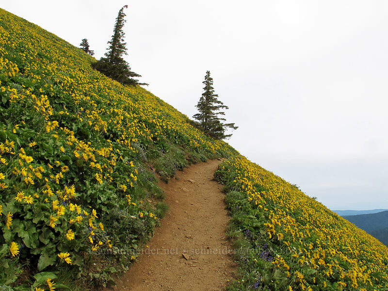 trail through balsamroot (Balsamorhiza sp.) [Dog Mountain Trail, Skamania County, Washington]