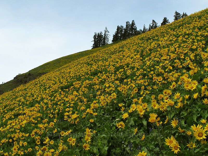 balsamroot (Balsamorhiza sp.) [Dog Mountain Trail, Skamania County, Washington]