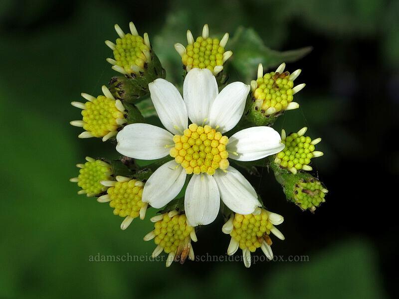 white western groundsel (Senecio integerrimus var. ochroleucus) [Dog Mountain Trail, Skamania County, Washington]