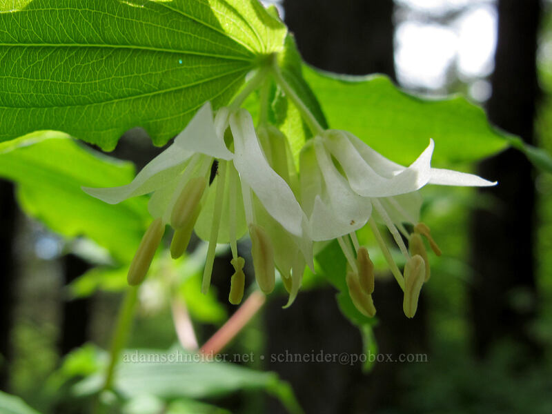 Hooker's fairy bells (Prosartes hookeri (Disporum hookeri)) [Dog Mountain Trail, Skamania County, Washington]