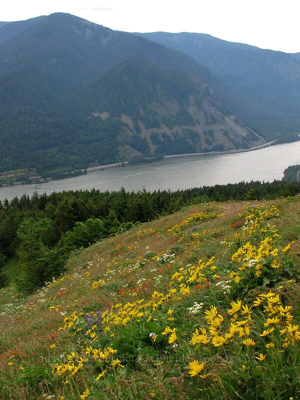 wildflowers (Balsamorhiza sp., Castilleja hispida, Lupinus sp., Triteleia grandiflora ssp. howellii, Senecio integerrimus var. ochroleucus) [Dog Mountain Trail, Skamania County, Washington]
