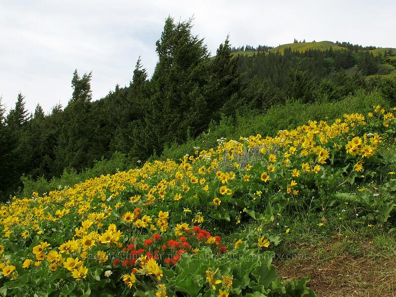 wildflowers (Balsamorhiza sp., Castilleja hispida, Lupinus sp., Senecio integerrimus var. ochroleucus) [Dog Mountain Trail, Skamania County, Washington]