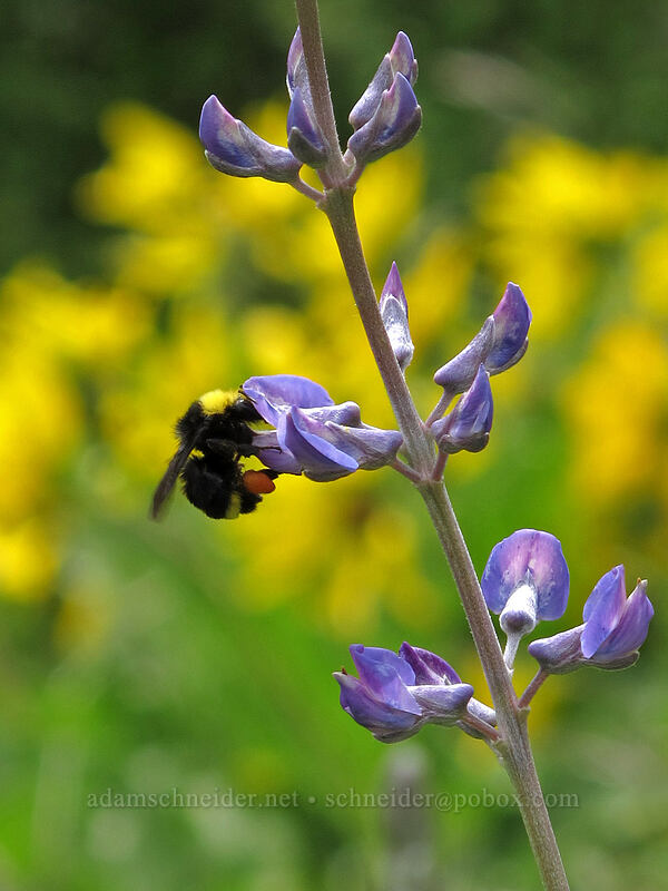 lupine & bumblebee (Lupinus sp., Bombus sp.) [Dog Mountain Trail, Skamania County, Washington]