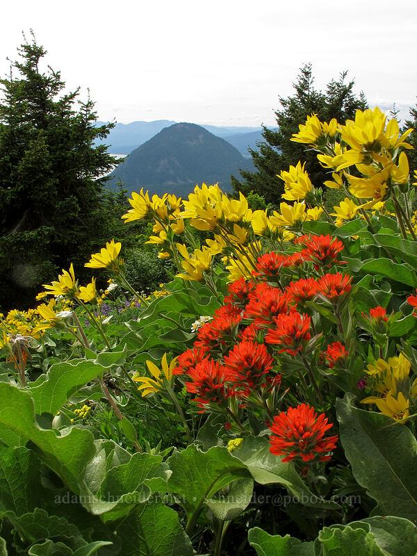 paintbrush & balsamroot (Castilleja hispida, Balsamorhiza sp.) [Dog Mountain Trail, Skamania County, Washington]