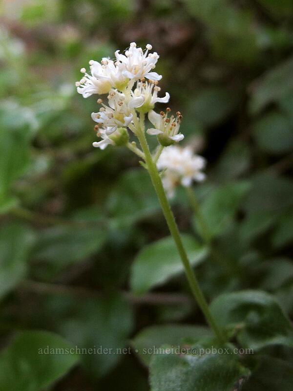 yerba de selva (modesty) (Whipplea modesta) [Eagle Rock Campground, Umpqua National Forest, Oregon]