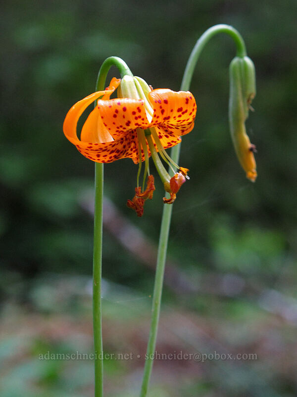 Columbia tiger lily (Lilium columbianum) [Eagle Rock Campground, Umpqua National Forest, Oregon]