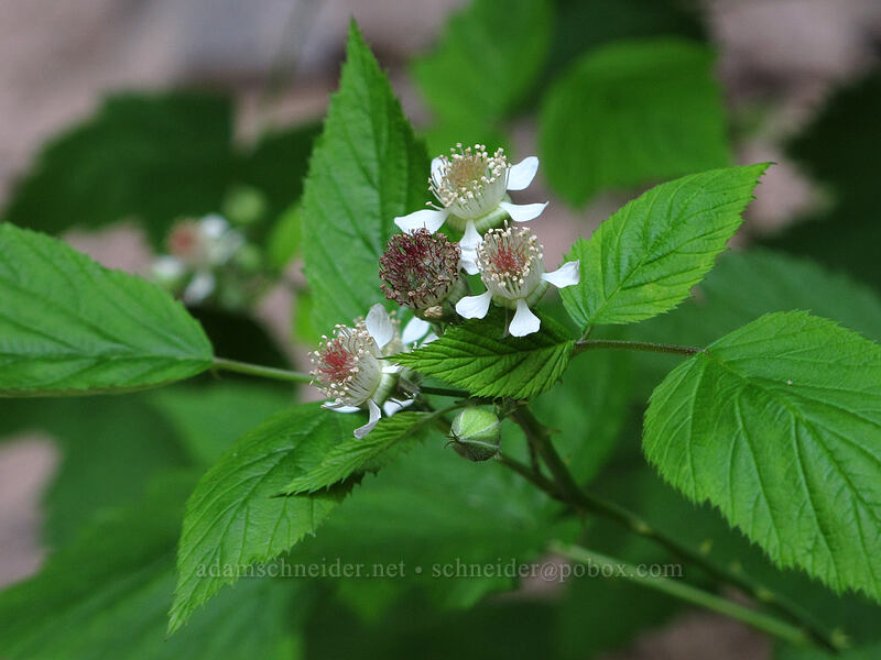 black-cap raspberry flowers (Rubus leucodermis) [Toketee Falls Trail, Umpqua National Forest, Oregon]