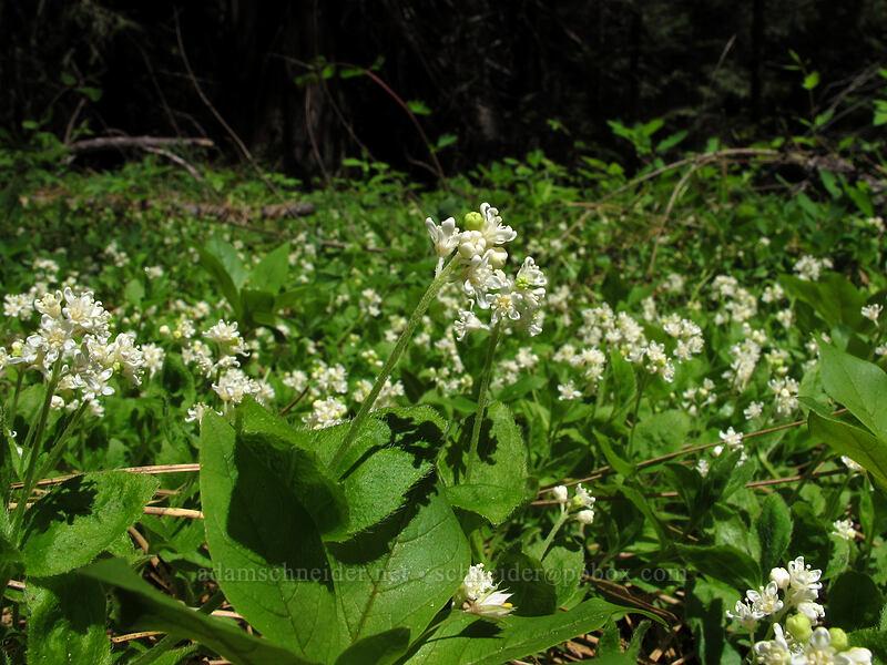 yerba de selva (modesty) (Whipplea modesta) [Mountain Meadows, Umpqua National Forest, Oregon]