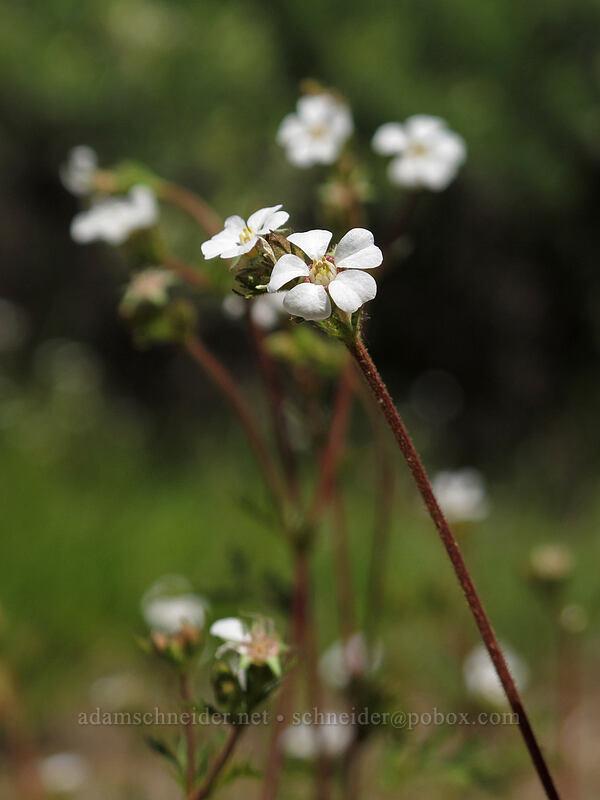 dusky horkelia (Horkelia fusca) [Thorn Prairie, Umpqua National Forest, Oregon]